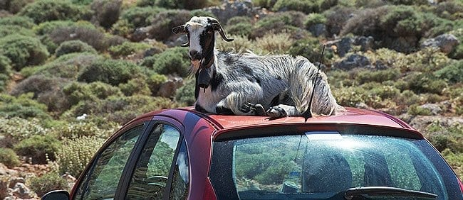 A goat on car roof