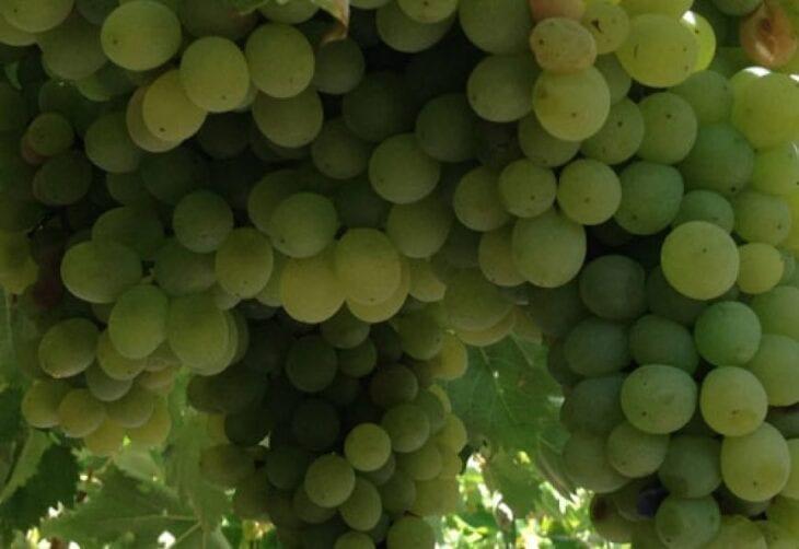 Vidiano Wine