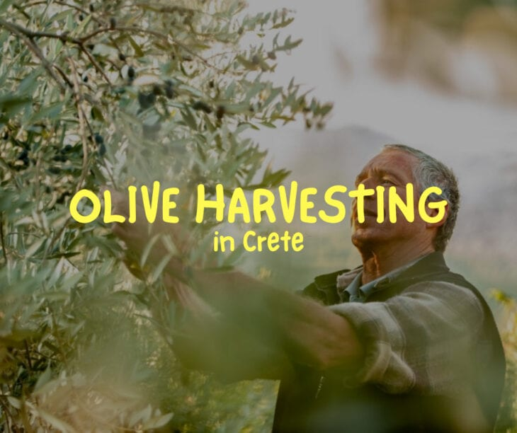 Everything about olive harvesting in Crete