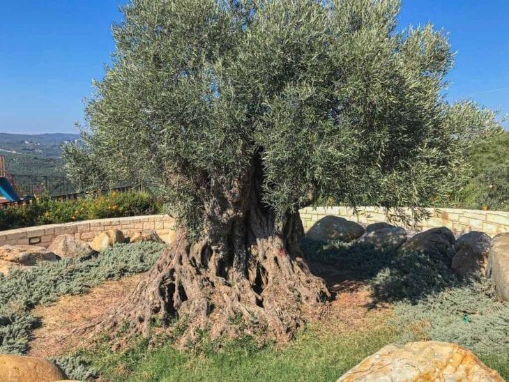 récolte des olives en Crète