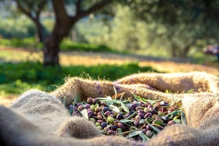 Olives fraîchement récoltées en sacs en Crète