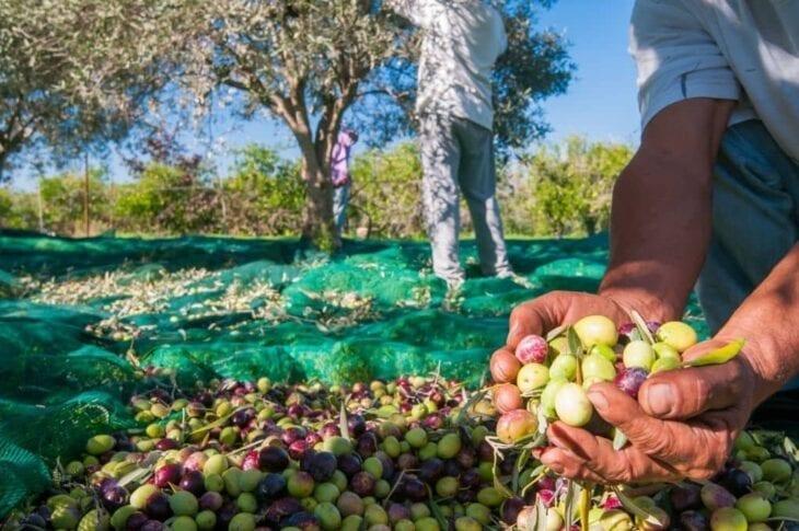 Moment de la cueillette des olives