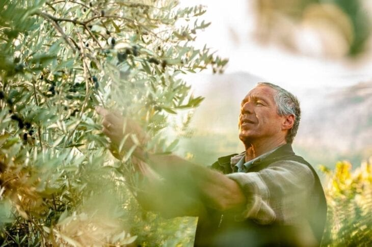 Senior man handpicking ripe olives from olive tree in Crete