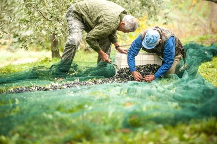 Senior Farmers collecting olives from the net