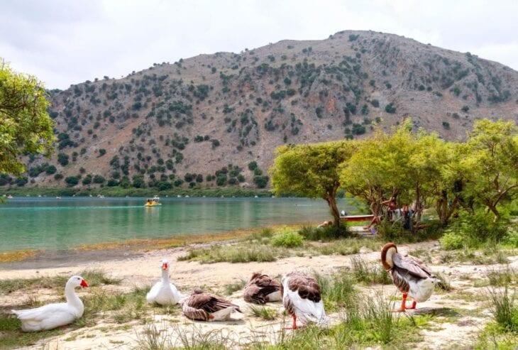 Oies sur la rive du lac Kournas